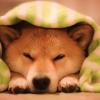 Shiba Inu: The 'Dogecoin Killer' is Here!